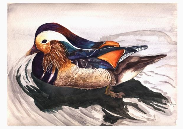 soraya pamplona ilustração aquarela pato mandarin-duck-web